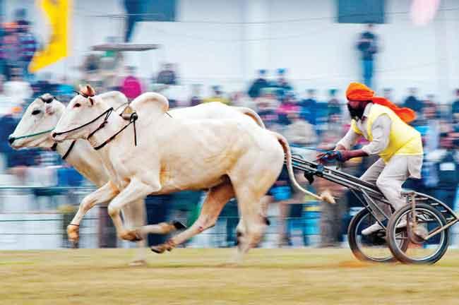 Bullock Cart Race Punjab