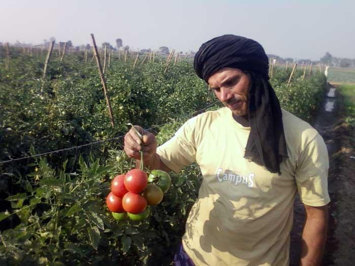 Arizona Seeds processing project Tomato