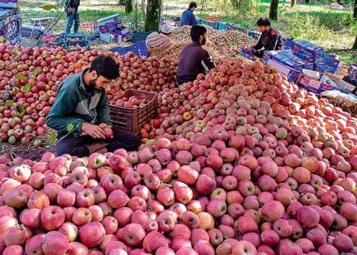 Kashmiri Apples