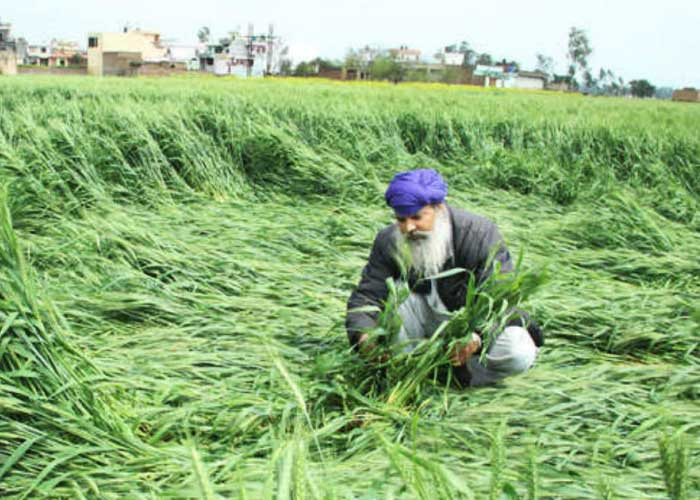 Wheat crop damage Punjab