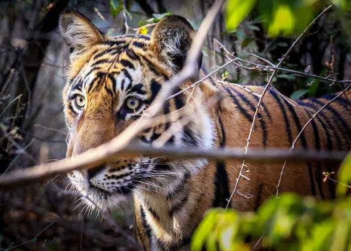 Save The Tiger