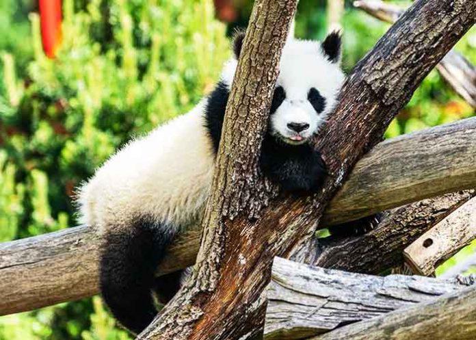 Wild Giant Pandas