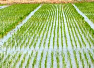 Direct Seeding of Rice Paddy