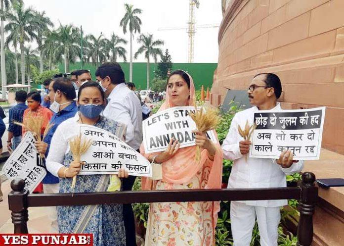 Harsimrat Badal Protest Wheat Stalks