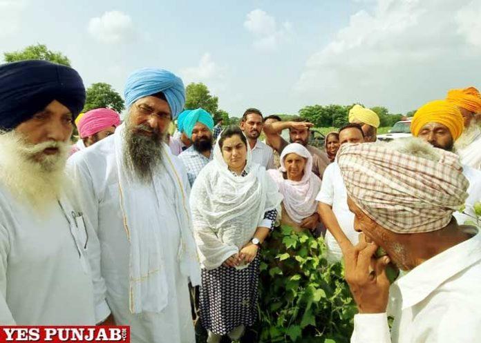 Baljinde Kaur BT Cotton seeds under HC