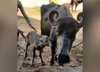 IVF buffalo calf born in Gujarat
